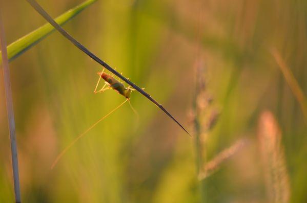 Sunlit grasshopper thumbnail