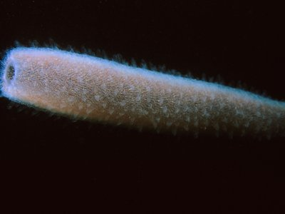 Pyrosoma atlanticum floating off of Santa Cruz Island.