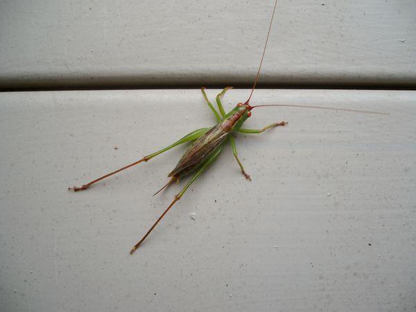 Multicolored Grasshopper thumbnail