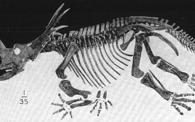 The AMNH skeleton of Styracosaurus, one of the dinosaurs from the upper zone of the Dinosaur Park Formation.