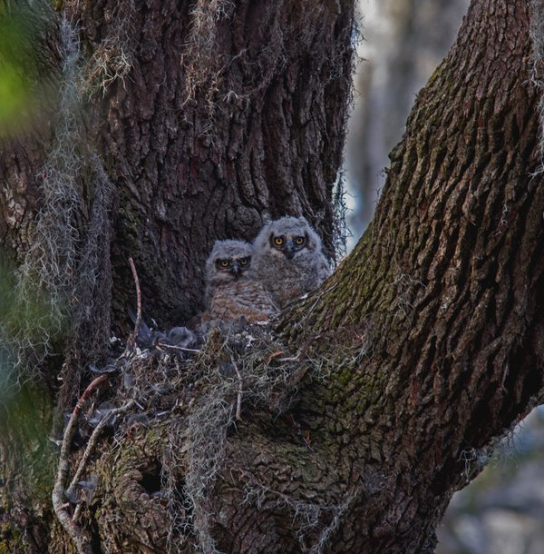 Great Horned Owlets thumbnail