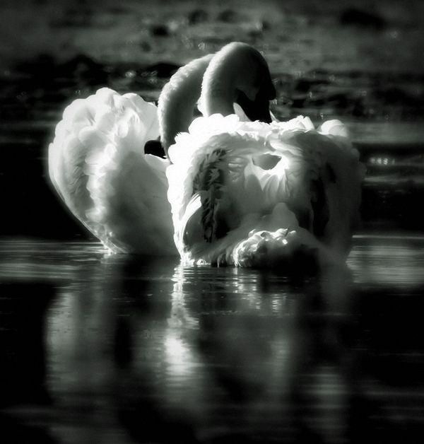 Devoted Swans thumbnail
