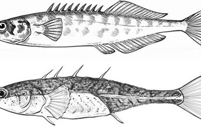 Top: The ninespine stickleback, Pungitus pungitus, is typical of the saltwater form. Bottom: A freshwater form of stickleback with fewer bony plates and fewer spines.