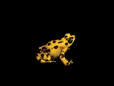 Panamanian golden frogs—such as F1, seen here—are native to the rainforests and cloud forests of Panama but haven't been seen in the wild since 2009. Each creature's bright coloration warns predators of its deadly skin, which contains enough toxins to kill 1,200 mice.