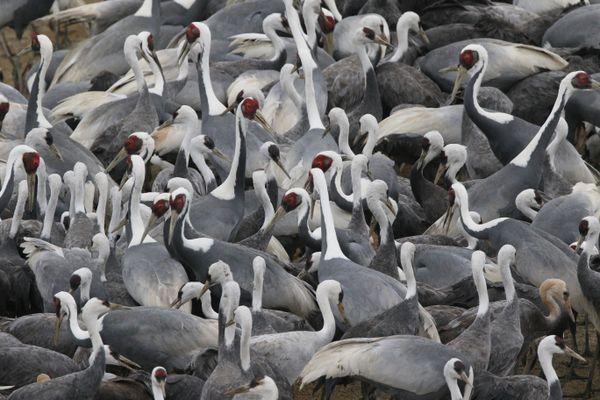 A group of elegant white-naped cranes wintering in Kyushu, Japan thumbnail