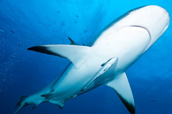 Grey reef shark thumbnail