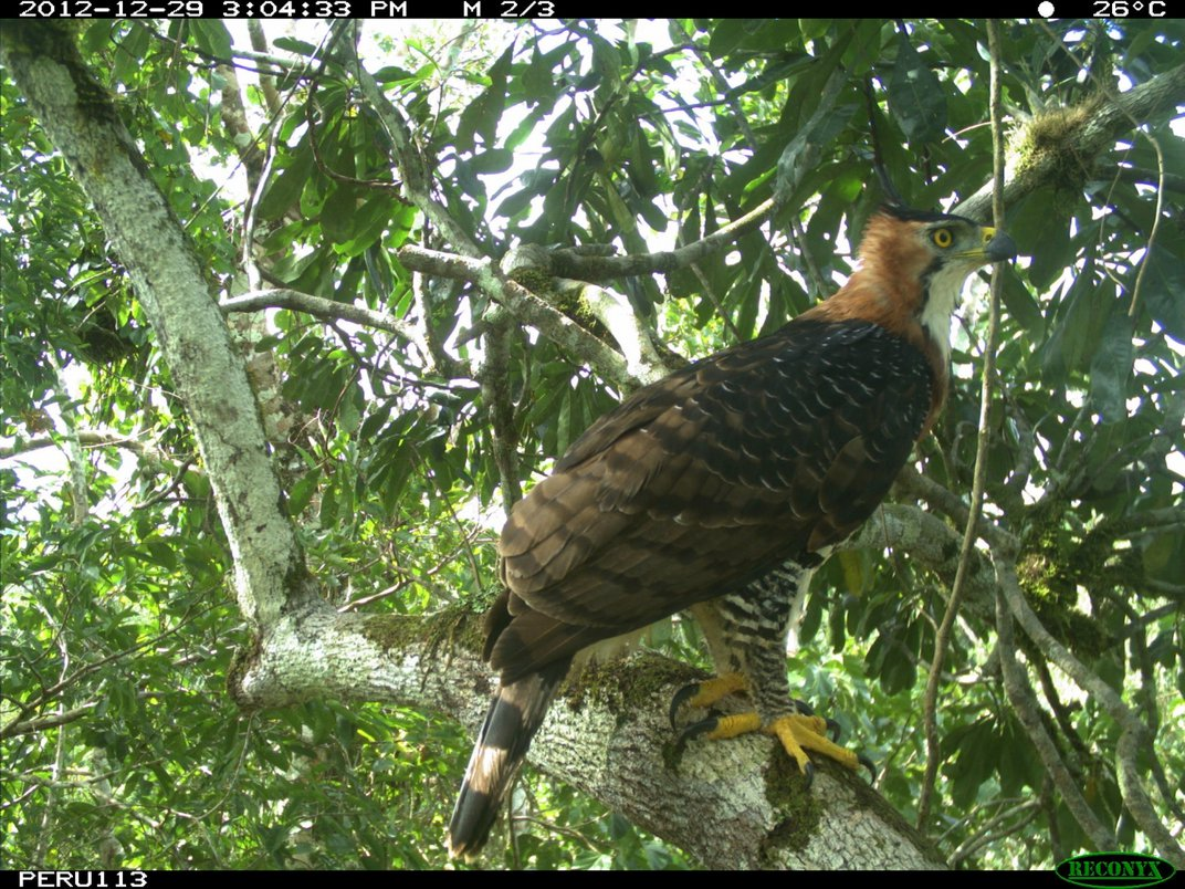 A camera trap photo of a large bird, called an ornate hawk-eagle, perched on a branch high in the rainforest canopy in Peru.