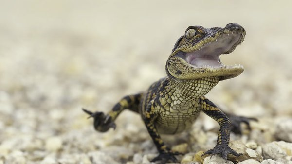 Preview thumbnail for Ask Smithsonian: Do Animals Laugh?