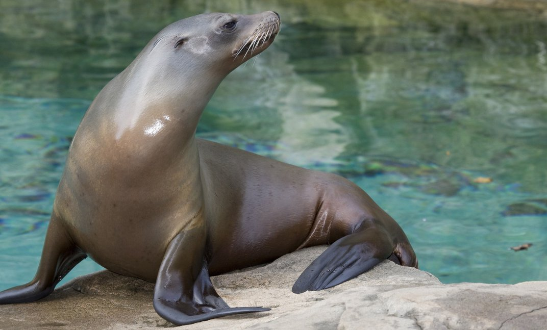 A sea lion standing on its front flippers on a rock near water