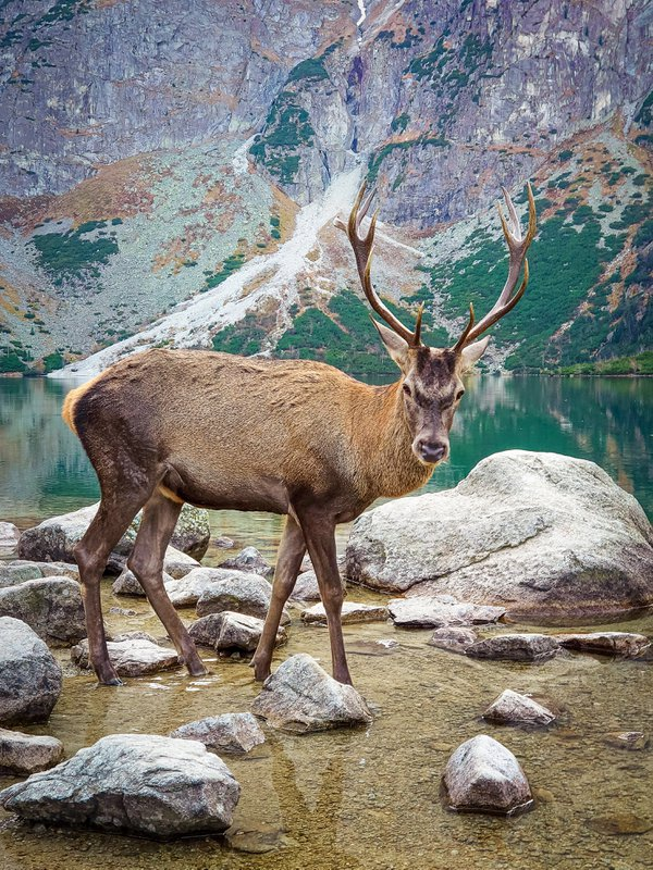 Deer on Lake Sea Eye thumbnail