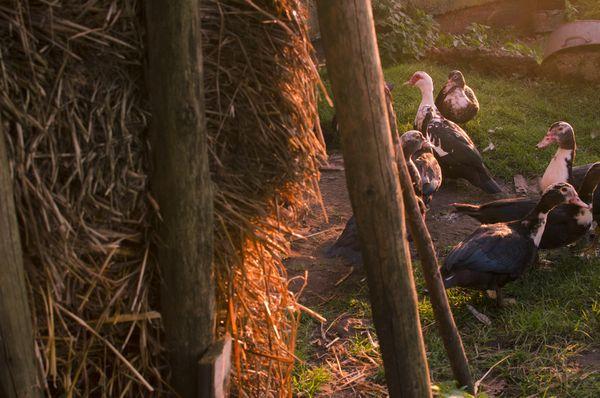 Ducks in the village thumbnail
