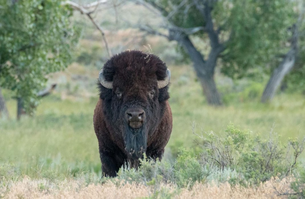 A bison with broad shoulders, short curved horns and thick fur stands on a grassy area of the Northern Great Plains in Montana.