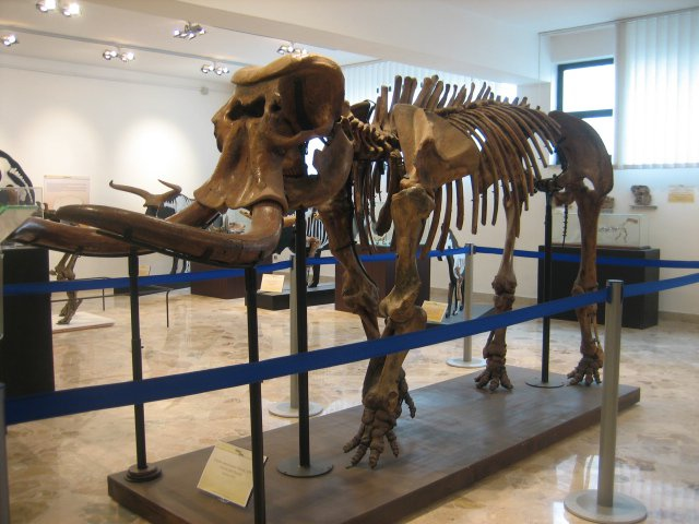 An image of a minature elephant skeleton in the Gemmellaro Geological Museum