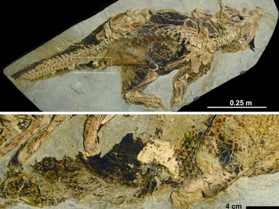 This fossil is the oldest known preserved dinosaur cloacal vent.