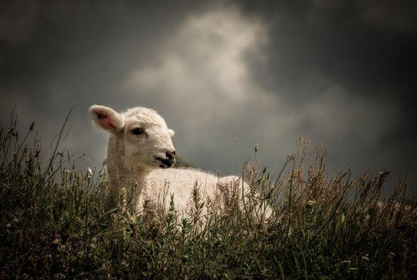 Biblical lamb thumbnail
