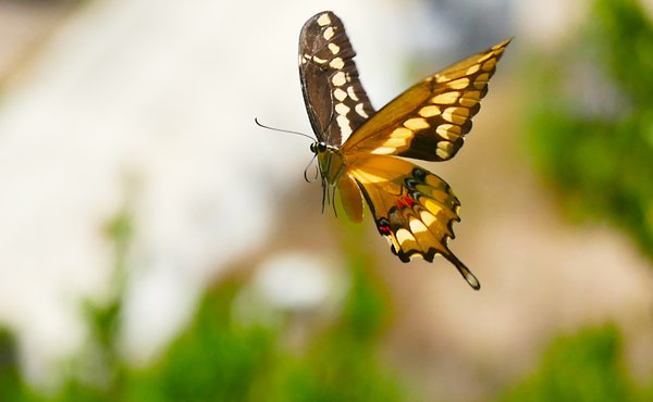 Swallowtail in flight thumbnail