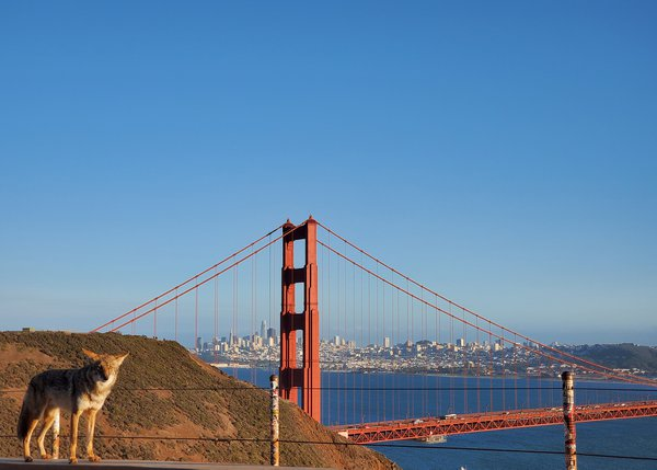 Coyote standing beside the Golden Gate Bridge thumbnail