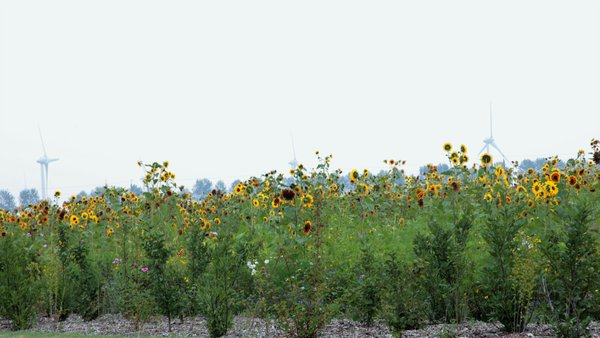 Windmills and Sunflowers thumbnail