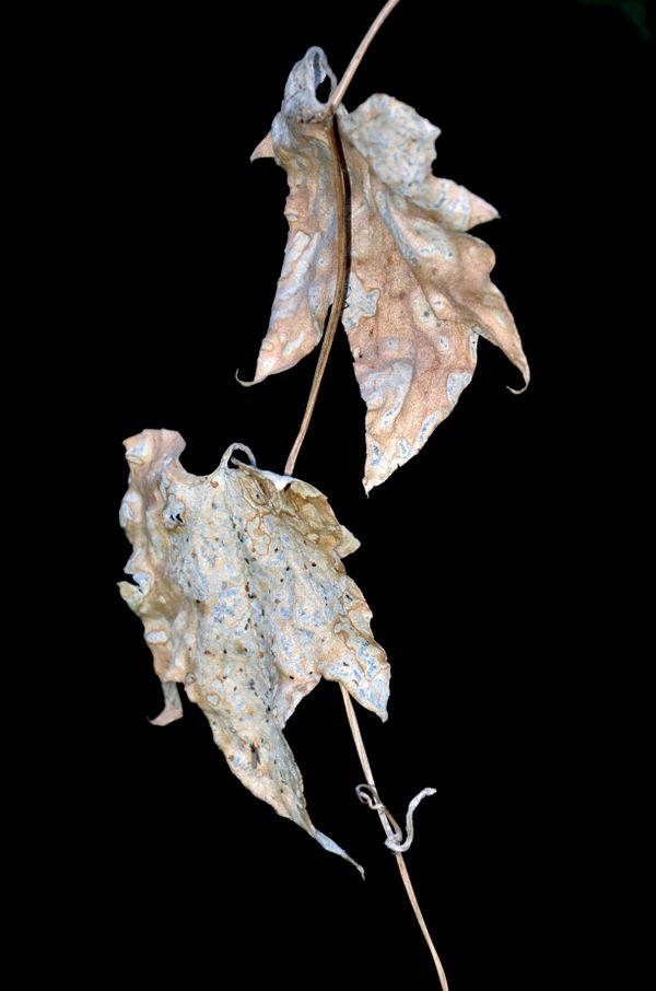dried leaves  thumbnail