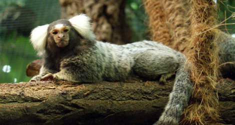 The common marmoset may be a suitable model for human obesity.