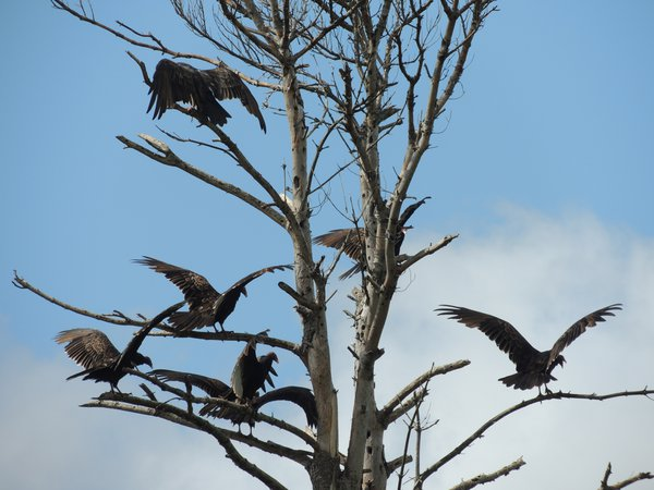 Turkey vultures drying their wings thumbnail