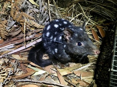 A black eastern quoll with white spots decked out with its GPS collar.