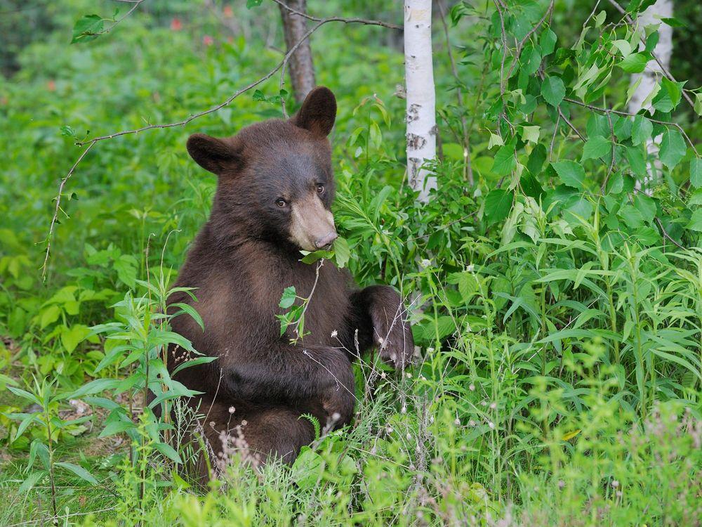Black Bear Eating Plants