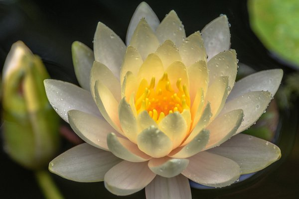 Hardy Water Lily thumbnail