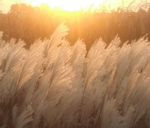 Silver grass patch along corn field at sunset. thumbnail