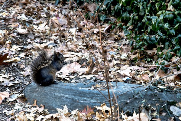 SQUIRREL COLLECTING NUTS DURING FALL. thumbnail
