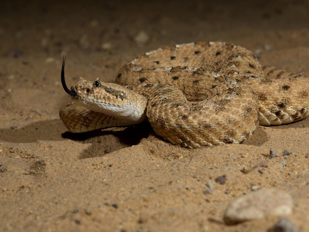 A sidewinder snake lays coiled up in the sand