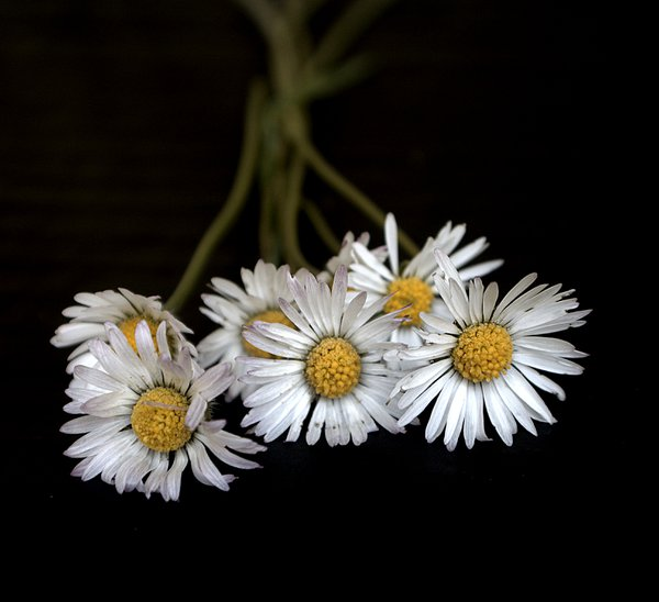 A bouqet of daisies thumbnail