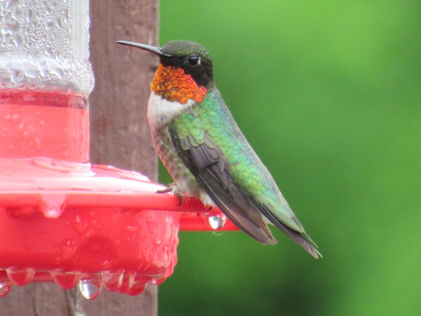 Ruby Throated Hummingbird sitting on a feeder. thumbnail
