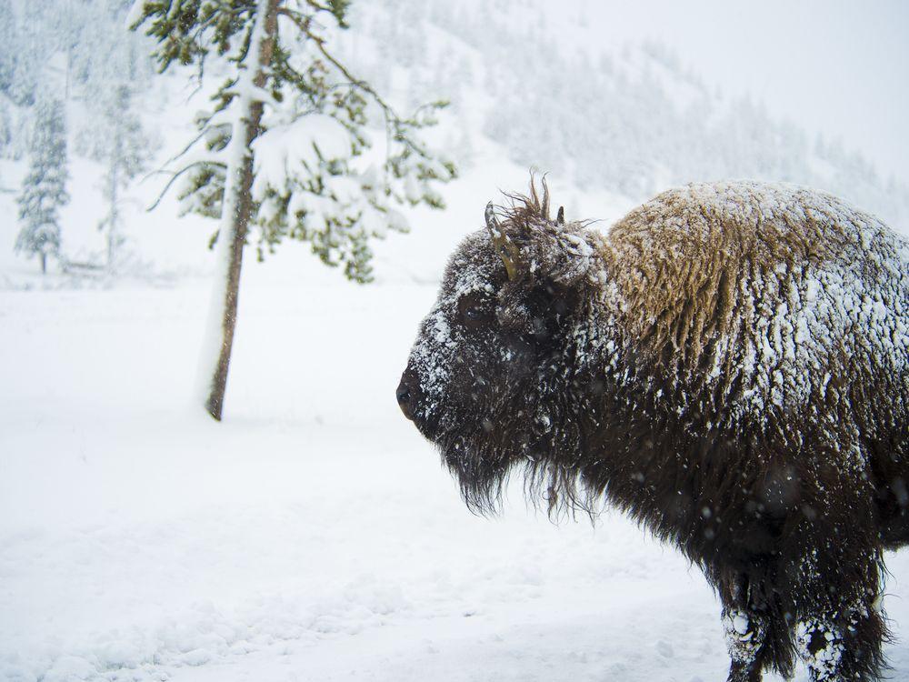 07_31_2014_bison.jpg