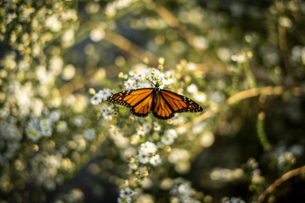 Monarch butterfly resting in Brooklyn during its migration thumbnail