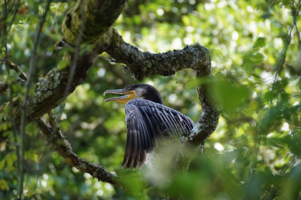 A Cormorant on the banks of the river Dart (UK) thumbnail