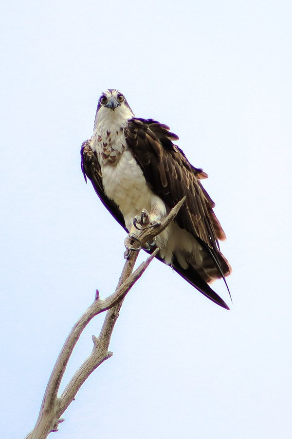Adult Osprey Perched at Lagoon thumbnail
