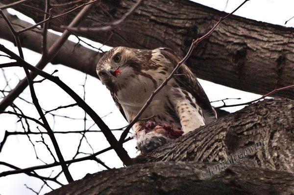 Feeding Hawk thumbnail