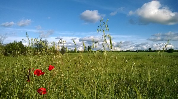 Red poppies peacefully swaying on a green plain thumbnail