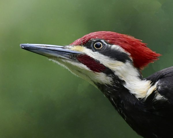 Pileated Woodpecker thumbnail