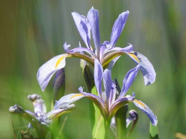 Purple Iris thumbnail