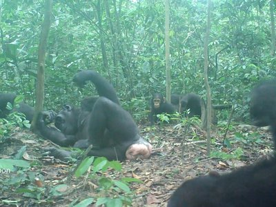 Wonga Wongue chimpanzees of Gabon usually lie down on their sides to termite fish.