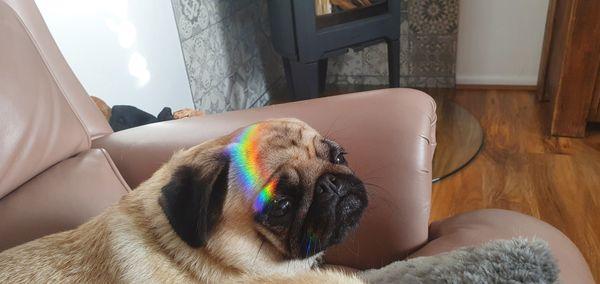 Lulu rainbow pug thumbnail
