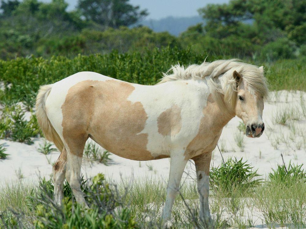 Wild_Pony_at_Assateague.jpg