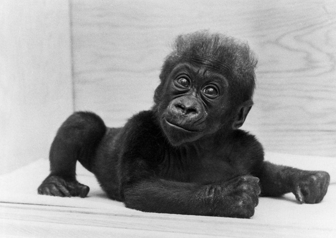 Colo, the World's First Gorilla Born in Captivity, Is Dead