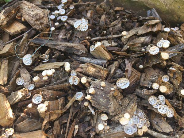 Bird's Nest Fungi  thumbnail