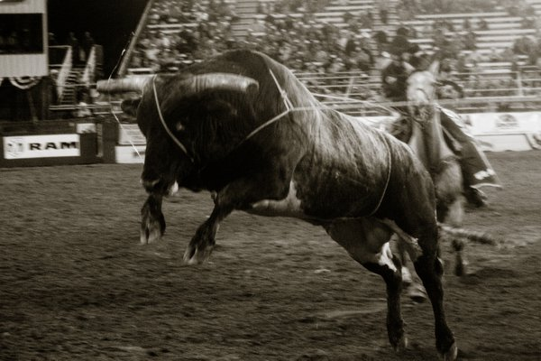 A rodeo bull   thumbnail