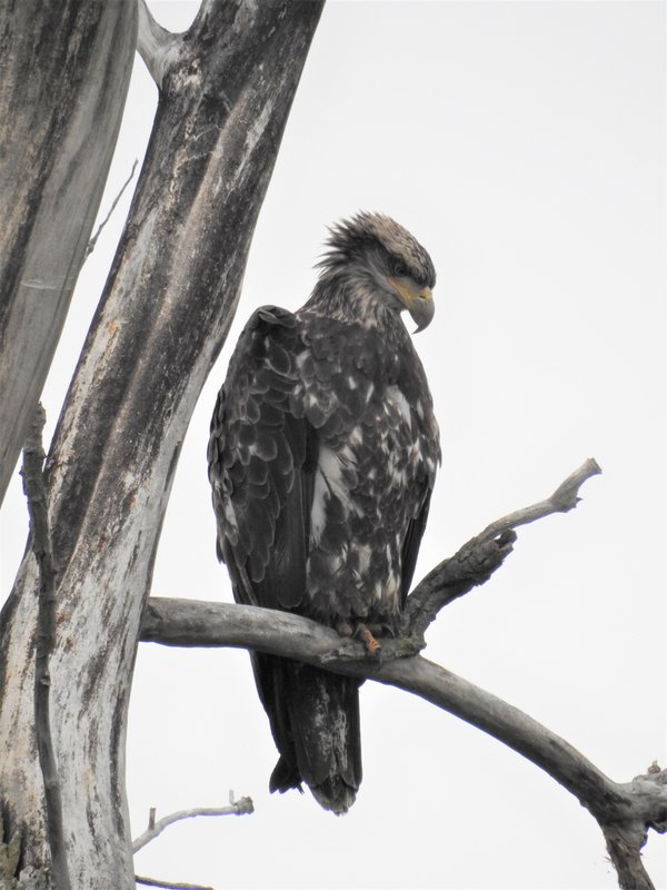 Juvenile Bald Eagle Hunting thumbnail