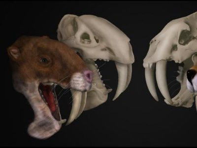 Side-by-side renderings of the marsupial saber-tooth Thylacosmilus atrox (left) and the saber-tooth cat Smilodon fatalis (right).
