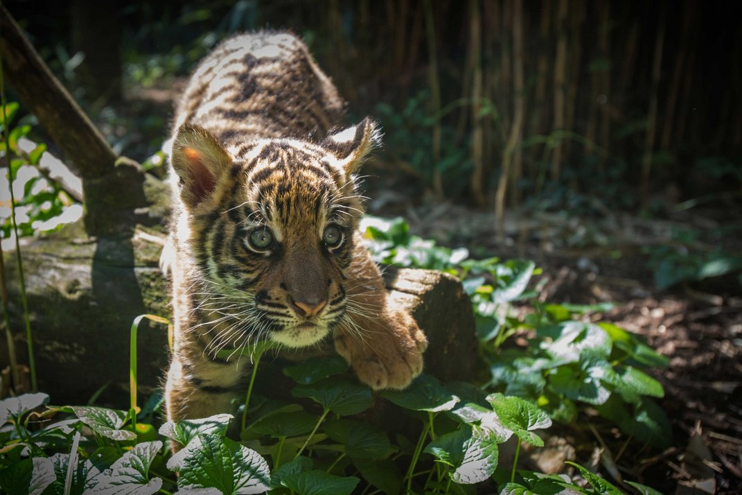A 9-week-old male tiger cub with striped fur, big paws and long whiskers climbs over a leaf-covered log.